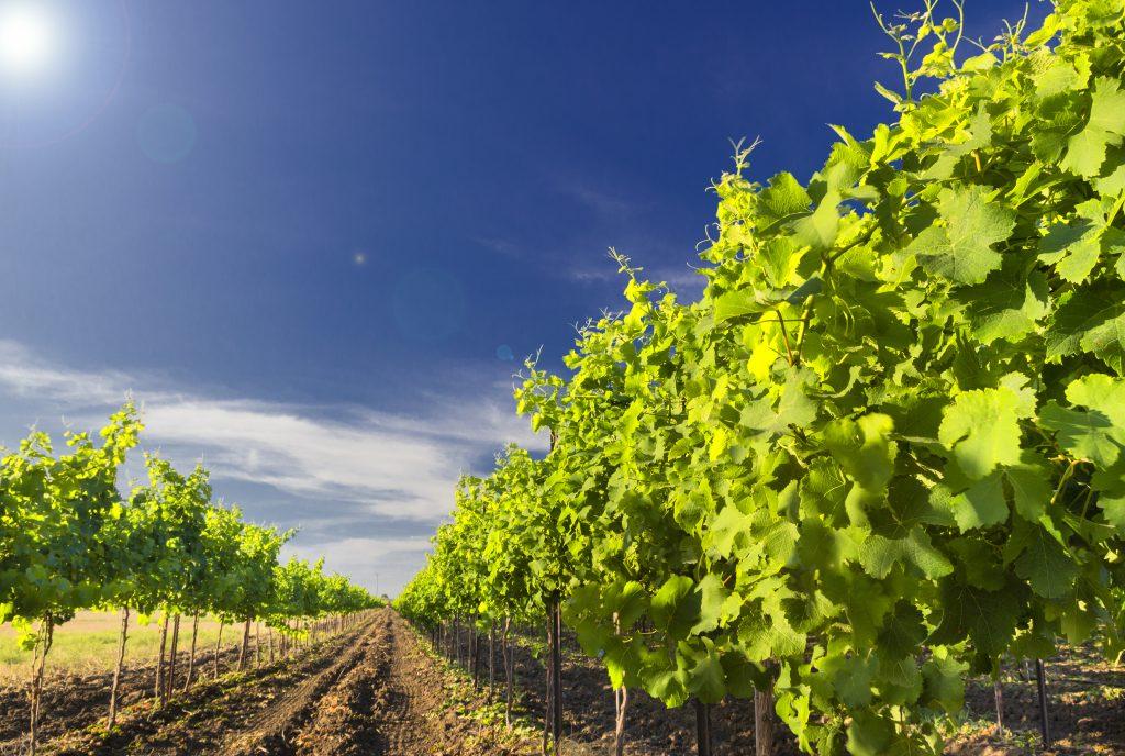 Israel wine tour green vineyard and blue sky in Israel - nes mobile